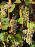 Big_white_riesling_grapes